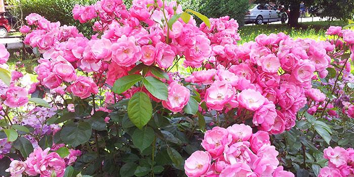 primavera-pforzheim-rosas-naturaleza
