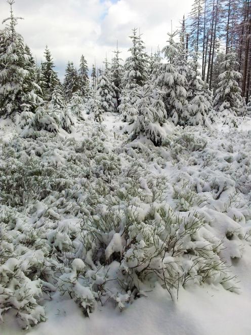 Kaltenbronn-Gernsbach-don-viajon-turismo-de-invierno-naturaleza-senderismo-en-Hohlohsee-Selva-Negra-Alemania