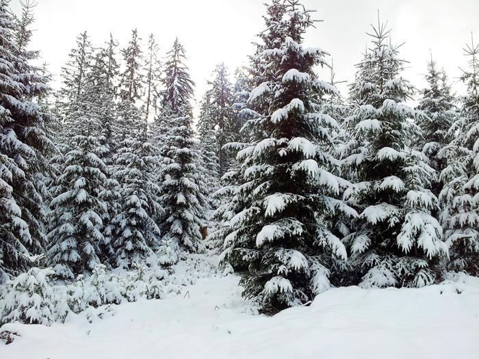 Kaltenbronn-Gernsbach-don-viajon-turismo-de-invierno-naturaleza-senderismo-Hohlohsee-pantanos-Selva-Negra-Alemania