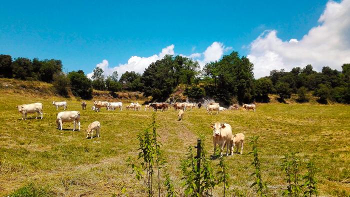 Achenkirch-vacas-pastando-don-viajon-turismo-naturaleza-aventura-tirol-austria