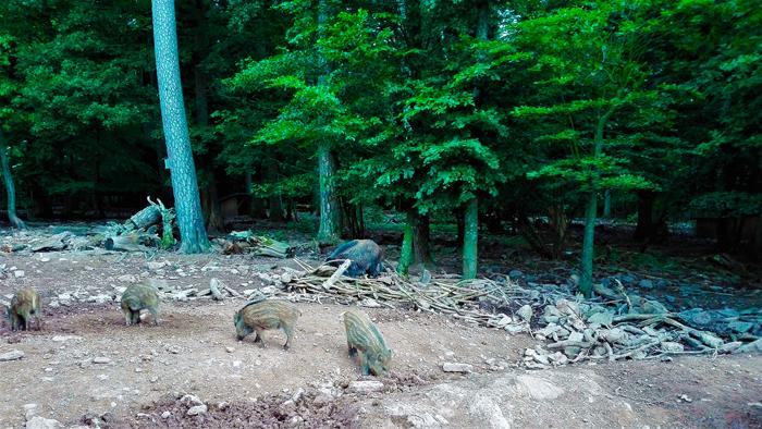 Jabalis-animales-salvajes-don-viajon-turismo-aventura-senderismo-Selva-Negra-Hermansee-Baden-Wurttemberg-Alemania
