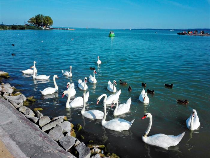 Lago-Balaton-cisnes-blancos-don-viajon-turismo-rural-recreativo-gastronomico-aventura-naturaleza-Hungria