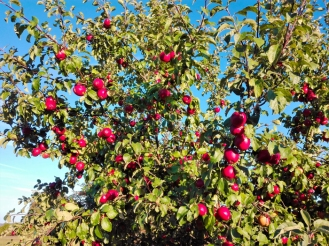 Pforzheim-cosecha-de-manzanas-rojas-don-viajon-turismo-rural-senderismo-aventura-Selva-Negra-Baden-Wurttemberg