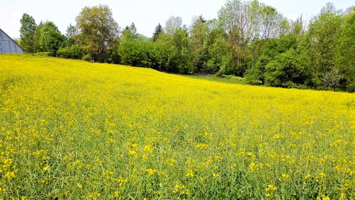 Schlosswiesensee-campos-floridos-canola-don-viajon-turismo-rural-senderismo-naturaleza-aventura-Baden-Wurttemberg-Alemania
