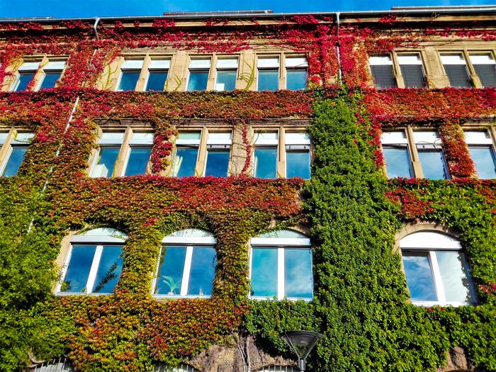 Hiedra-en-otono-don-viajon-turismo-urbano-cultural-recreativo-Pforzheim-Baden-Wurttemberg-Alemania