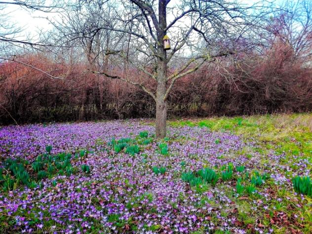 Birkenfeld-campos-de-crocus-sativus-don-viajon-turismo-aventura-naturaleza-invierno-Alemania