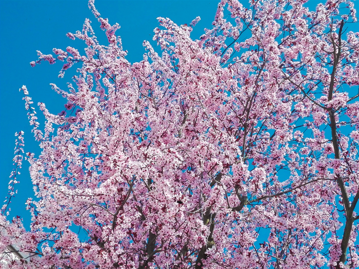 cerezo-en-flor-Pforzheim-don-viajon-turismo-recreativo-senderismo-naturaleza-Baden-Wurttemberg-Alemania