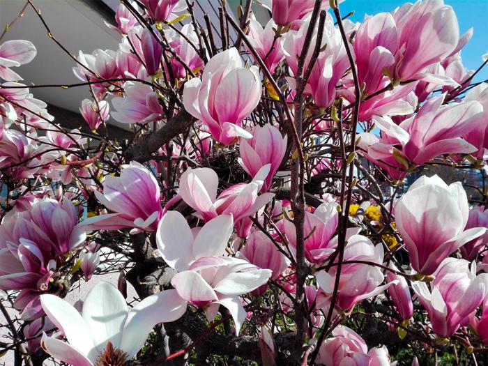magnolias-primavera-Pforzheim-don-viajon-turismo-sostenible-recreativo-naturaleza-Selva-Negra-Alemania