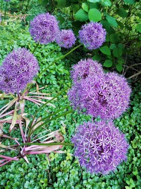 Bad-Wildbad-flores-lilas-primavera-don-viajon-turismo-rural-senderismo-la-Selva-Negra-Baden-Wurttemberg-alemania